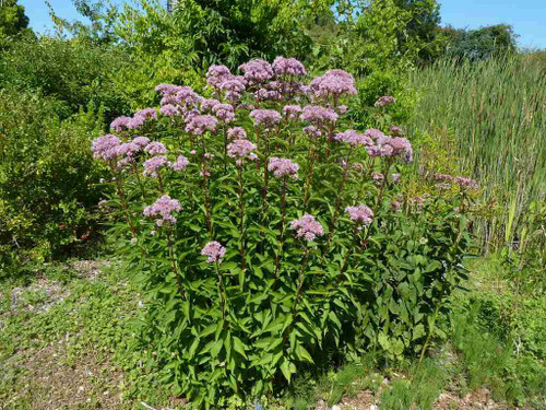 Spotted Joe Pye Weed - Eupatorium maculatum - moisture and sun loving perennial  ©Wendy Cutler