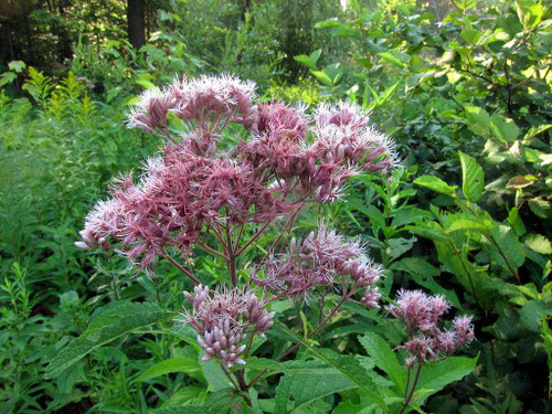 Sweet Joe Pye Weed - tall woodland edge perennial - tolerant to heat, droughts and some shade