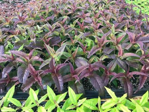 Boneset 'Milk n' Cookies' is vegetatively propagated perennial with dark red leaves ©Intrinsic Perennial Gardens