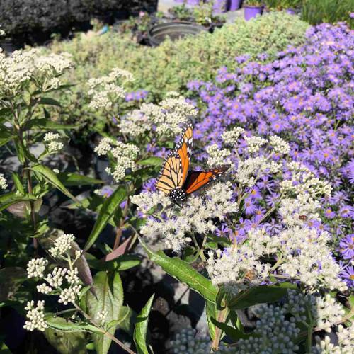 Eupatorium x 'Polished Brass' - true pollinator magnet and Monarch plant