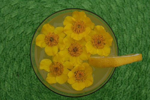 Avens hybrid 'Limoncello' - border perennial for sun or half shade and good moist soil.  ©Intrinsic Perennial Gardens