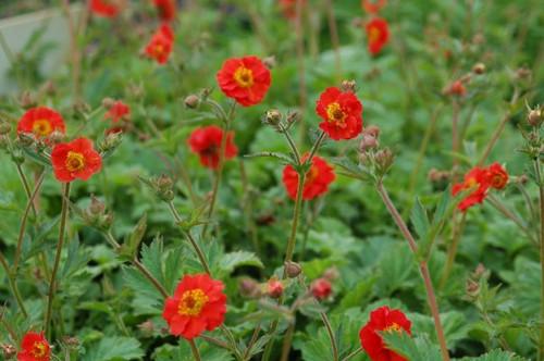 Geum x hybridum 'Sangria' - top performing avens in Midwestern gardens  ©Intrinsic Perennial Gardens