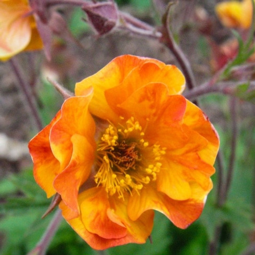 Geum - Avens hybrid 'Spanish Fly' - good perennial for late spring and very early summer  ©Intrinsic Perennial Gardens