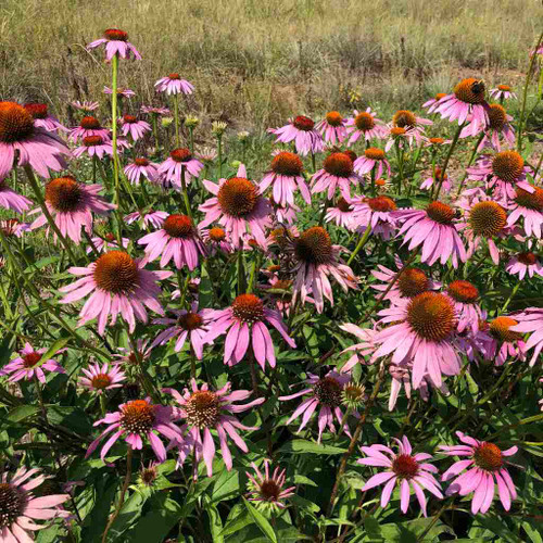 Purple Coneflower provides an excellent habitat for butterflies, pollinators and small birds