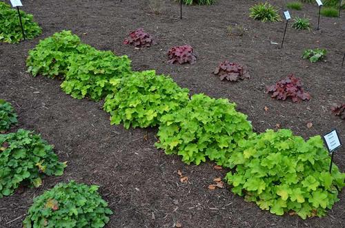Coralbells 'Citronelle' - easy to grow perennial for half shade garden or even dry shade  ©Mt Cuba