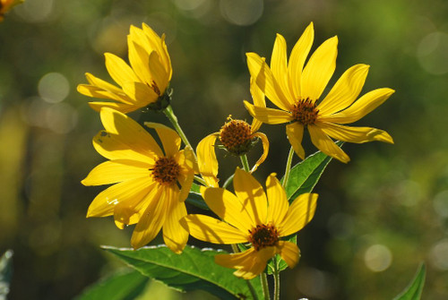 Woodland Sunflower - Helianthus divaricatus - excellent native plant for butterflies, pollinators, insects and birds