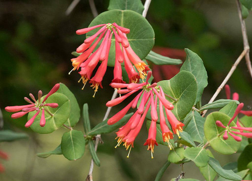 Lonicera sempervirens - native climbing perennial with exotic orange-red flowers