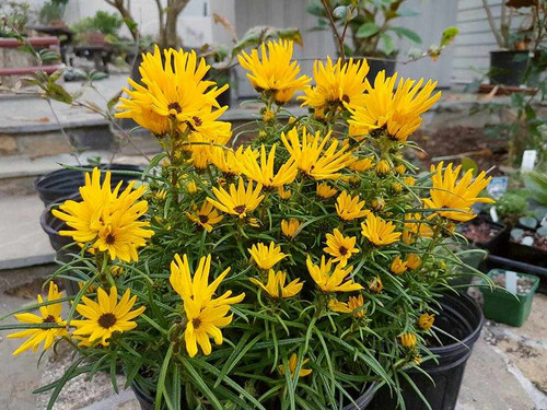 Sunflower 'Low Down' - dwarf fall flowering perennial for the front of sunny garden ©Liberto Dario