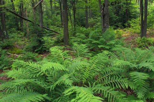 Cinnamon Fern - lovely native fern for half shade or shade garden ©Nicholas A. Tonelli