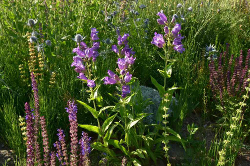 Showy Beardtongue can be combined with other drought tolerant perennials like Salvia nemorosa, Eryngium and many native perennials ©Peter Korn