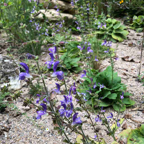 Salvia forskaohlei - tough perennial for half shade