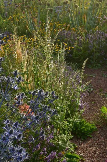 Salvia staminea in dry sandy flower bed with Eryngium, Lavandula, Anthemis and Allium. ©Peter Korn