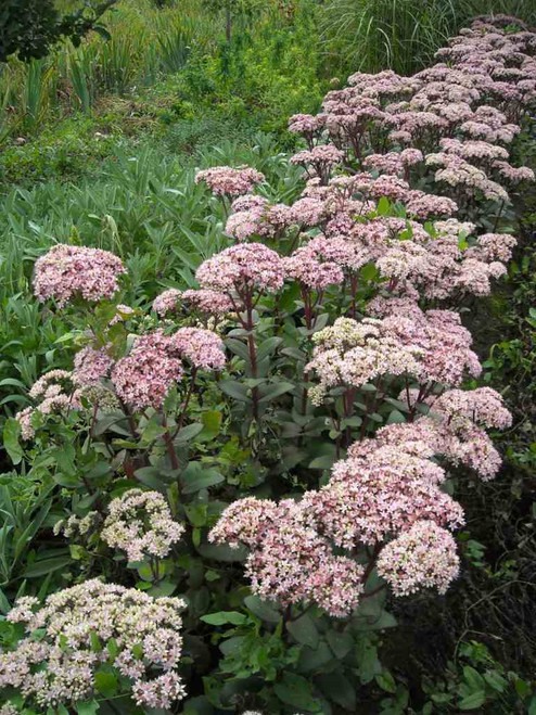 Tall Stonecrop 'Matrona' - perennial with robust structure, very long and good garden performance
