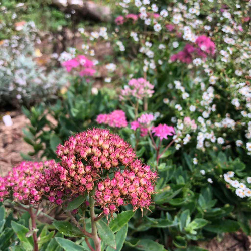 Sedum telephium 'Munstead Dark Red' - easy to grow perennial for the front of the flower bed