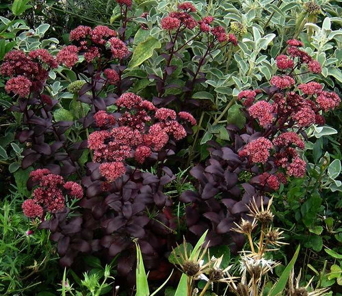 Stonecrop 'Purple Emperor' - perennial that goes well with other drought tolerant plants ©peganum