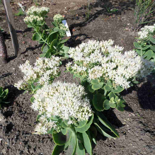 Stonecrop 'Stardust'  - drought tolerant and long-lived perennial for sunny garden