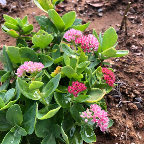 Stonecrop 'Autumn Fire' - young plant shows the early dark color that fades to shades of pink to pale pink