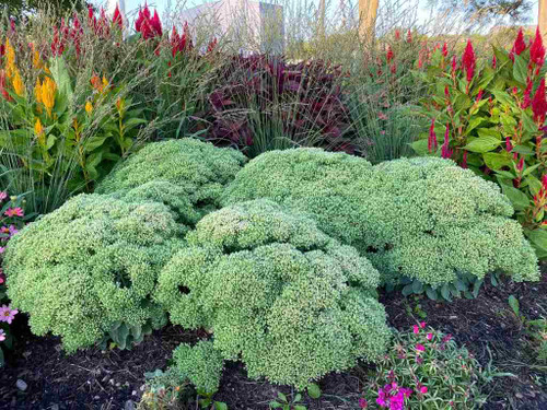 Stonecrop hybrid 'Lime Joy' - perennial with large leaves and heads that turn from lime green to bi-color pink-magenta in September ©Intrinsic Perennials