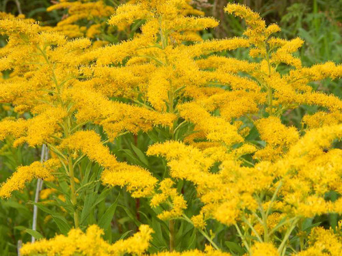 Goldenrod 'Little Miss Sunshine' - well mannered small cultivar for the from of sunny garden ©Forest and Kim Starr