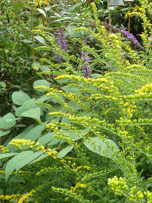 Rough-leaved Goldenrod - native wildflower that attracts many pollinator and butterflies ©peganum