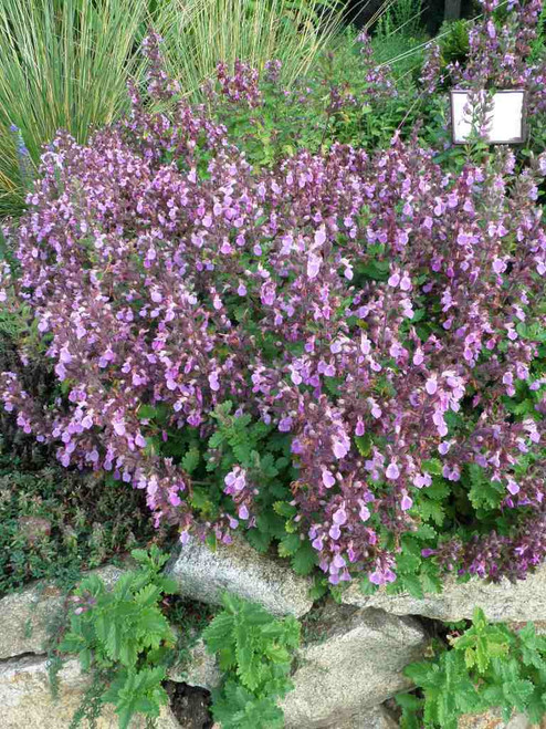 Wall Germander - Teucrium chamaedrys in full bloom, tough and groundcovering perennial