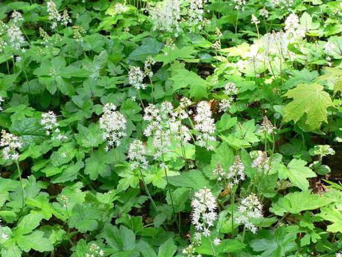 Foamflower ' Running Tapestry' - perennial groundcover for half shade or shade garden ©Raul654