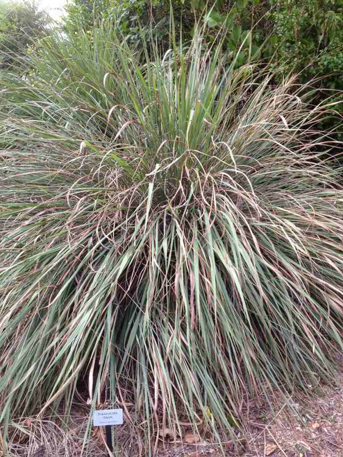Eastern Gama - Fakahatchee Grass - robust clump forming grass, adaptable to virtually any garden conditions ©T_dacty3