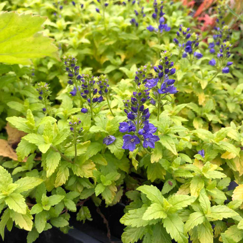 Creeping or prostrate Speedwell 'Trehane' - perennial with beautiful contrast of chartreuse/yellow with blue. Prefers some shade protection against hot sun in warmer zones