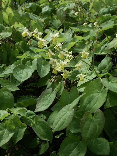 Barrenwort 'Sulphureum' - reliable groundcover for half shade and shade garden.