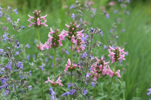 Stachys 'Pink Cotton Candy' intermingling with Nepeta 'Walker's Low' in naturalistic perennial planting, Bloomington, IN ©Andrew Marrs Garden Design