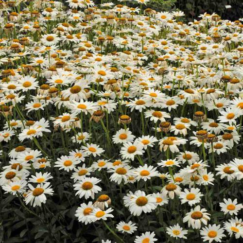 Shasta Daisy - Leucanthemum 'Becky' - tough and easy to grow perennial for sunny border ©Walter's Gardens