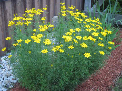 Coreopsis verticillata 'Golden Showers' aka 'Grandiflora - superior, tough and long-lived perennial for any soil in the sun