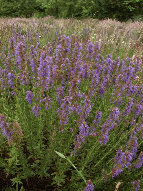 Hyssop - mounded perennial for sunny garden
