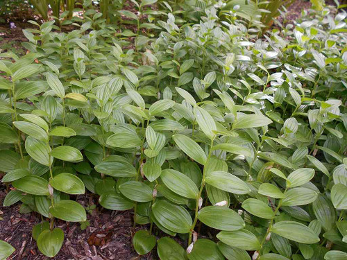 Dwarf Solomon's Seal - small groundcovering perennial for the front of shade or shaded rock garden ©Salicyna
