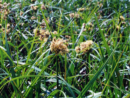 Common Bulrush (Green Bulrush) - grassy looking plant for wet soil, stormwater areas,  raingardens or erosion control