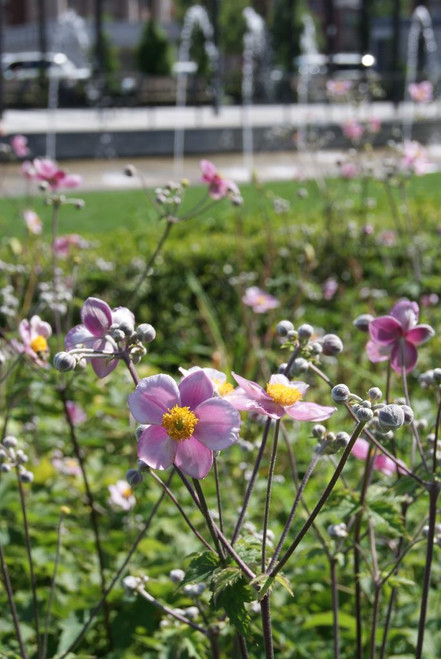 Japanese Anemone 'Robustissima' - reliable and hardy cultivar and tough fall flowering perennial ©Massachusetts Office for Travel and Tourism