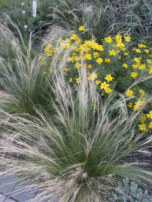 Stipa tenuissima - easy to grow, trouble free grass for drier and well drained soils. Can be grown as annual ©US Perennials