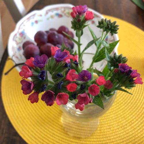 Lungwort 'Raspberry Splash' - easy to grow woodland perennial, good hosta companion ©US Perennials