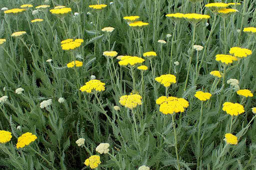 Yarrow - Achillea 'Moonshine' - drought tolerant and long flowering perennial for sun