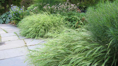Hakone Grass 'Albovariegata' - long-lived, groundcovering grass for half shade or shade ©K M