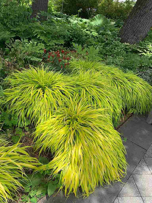 Hakone Grass 'All Gold'  - all year round ornamental grass for garden with at least little shade ©Katharine Wagner Reiss