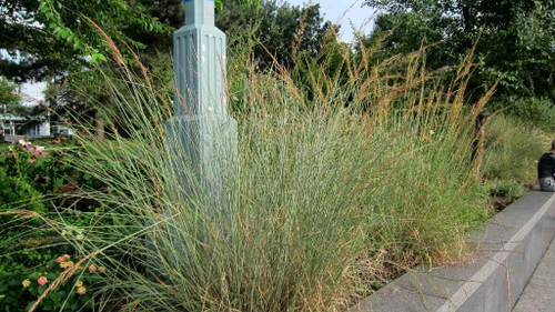 Indian Grass - tough native grass with natural look, for bigger natural looking beds or naturalization ©K M