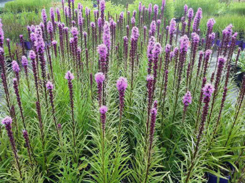Liatris spicata 'Blazingstar' - showy, compact and non-flopping perennial from Intrinsic Perennial Gardens