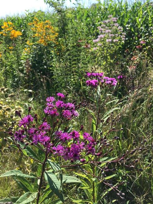New York Ironweed - Vernonia noveboracensis robust showy native perennial and wildflower