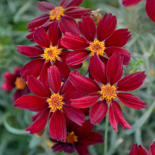 Coreopsis 'Red Satin' - one of very few red-flowering perennials ©Walters Gardens