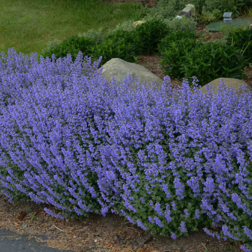 Catmint - Nepeta 'Purrsuian Blue'  - tight and compact perennial for the front of a sunny border ©Walters Gardens