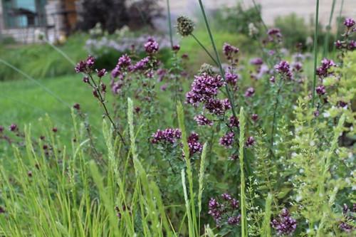 Oregano 'Herrenhausen' in naturalistic design full of perennials and grasses © Andrew Marrs Garden Design