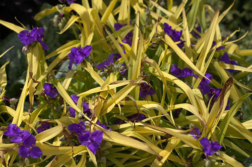 Spiderwort 'Sweet Kate' - perennial with golden, later chartreuse leaves and blue flowers