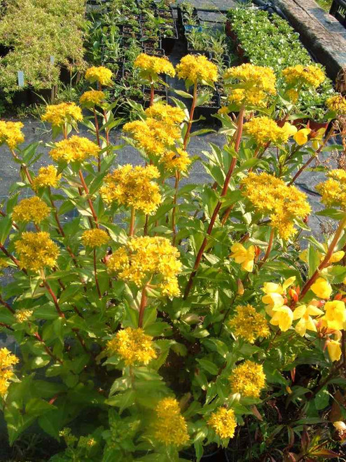 Aizoon Stonecrop - drought and heat resistant perennial for drier soil ©US Perennials