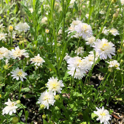 Asteromea mongolica - natural looking perennial for sunny or half shade flower bed ©US Perennials